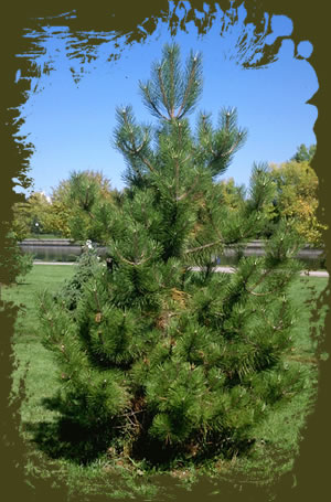 drought resistant pine trees scotch